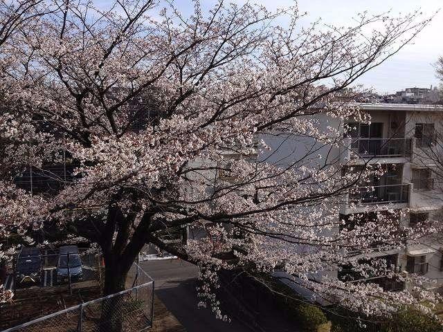 2013年3月23日(土曜日)本日のたまプラーザ団地の桜です。