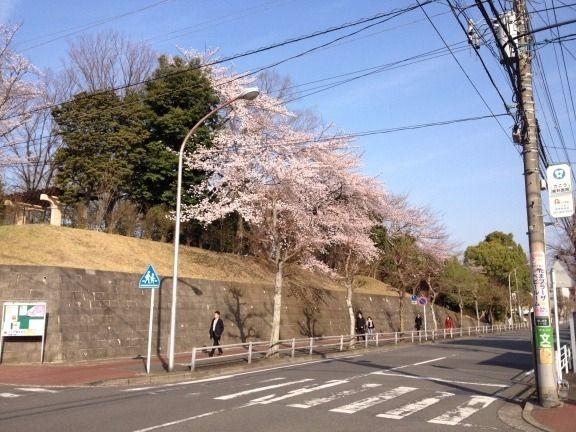 今朝の山内公園の桜です。